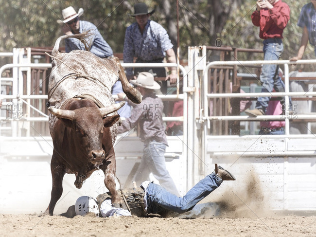 Boddington, Australia - November 5, 2016: Cowboy getting stomped on by bucking bull at rodeo