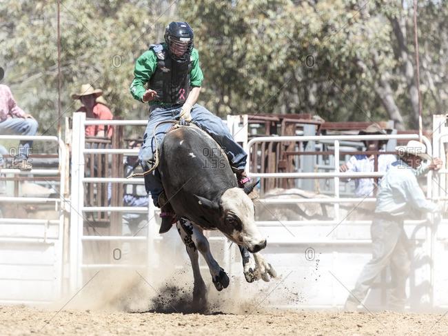 Boddington, Australia - November 5, 2016: Cowboy bull riding at rodeo