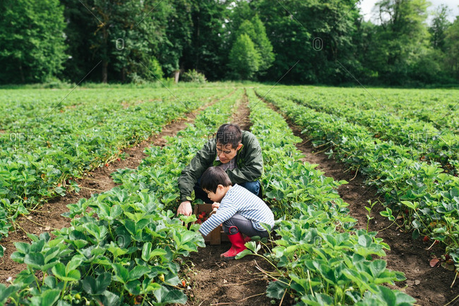 Dad and son picking strawberries in patch