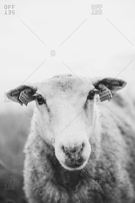 Black and white portrait of a sheep