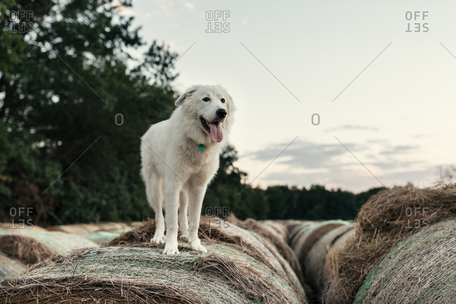 White fluffy dog standing atop a hay bale