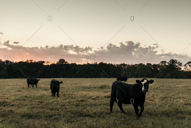 Cows grazing in a rural field