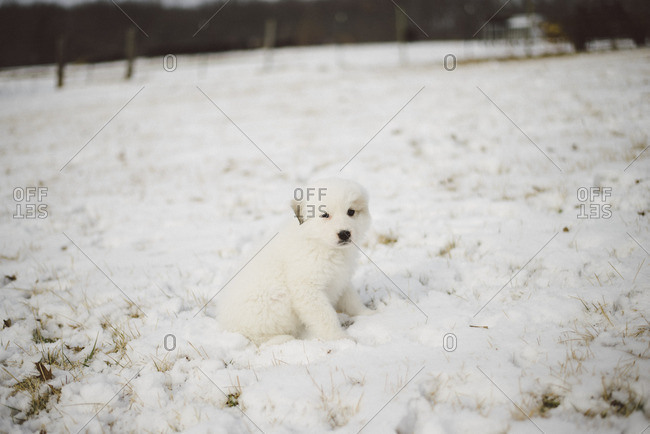 White fluffy puppy sitting in the snow