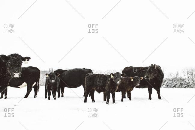 Cows grazing in a snowy rural field