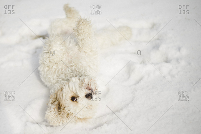 White fluffy dog rolling around in the snow