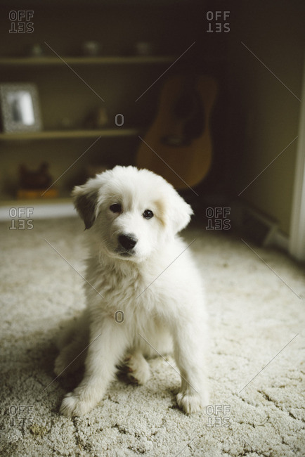 Portrait of a white fluffy puppy