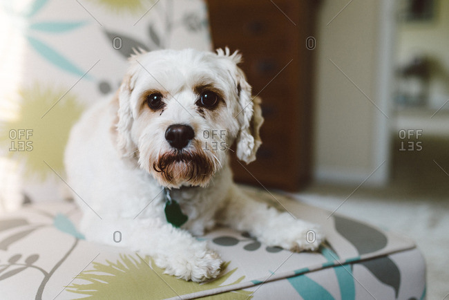 Portrait of a small white dog