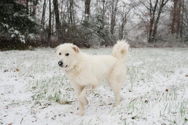 White fluffy dog walking through the snow