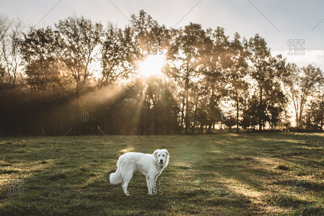 White fluffy dog in a rural field at sunrise