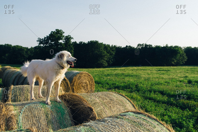 Dog standing on hay bales overlooking a field