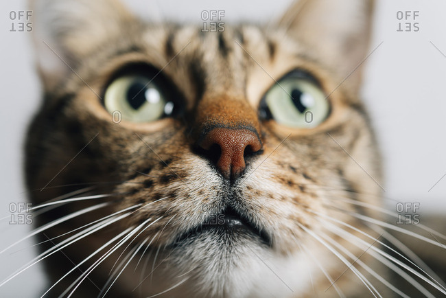 Portrait of tabby cat- close-up