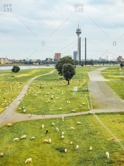 Germany- Duesseldorf- view to flock of sheep grazing on Rheinwiesen and skyling in the background