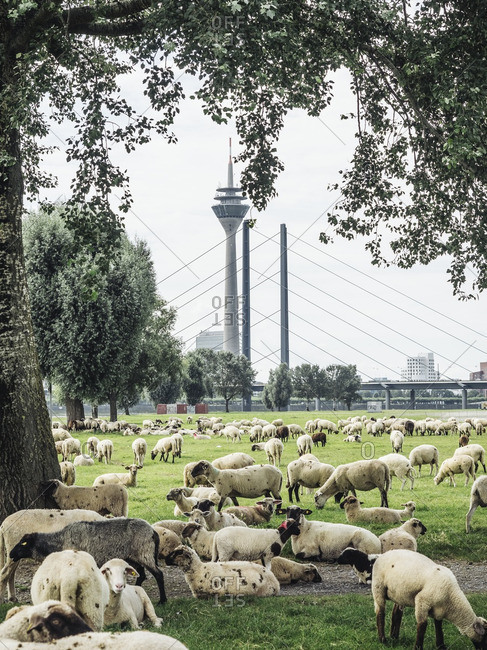 Germany- Duesseldorf- view to Rhine Tower with flock of sheep grazing on Rheinwiesen in the foreground