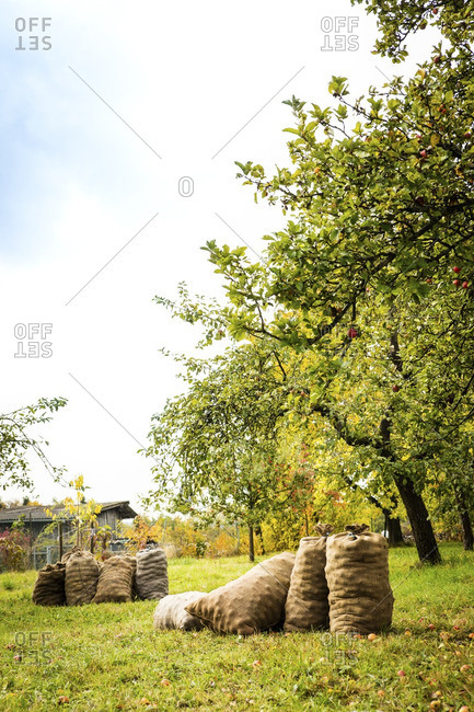 Germany- Bavaria- Apple harvest