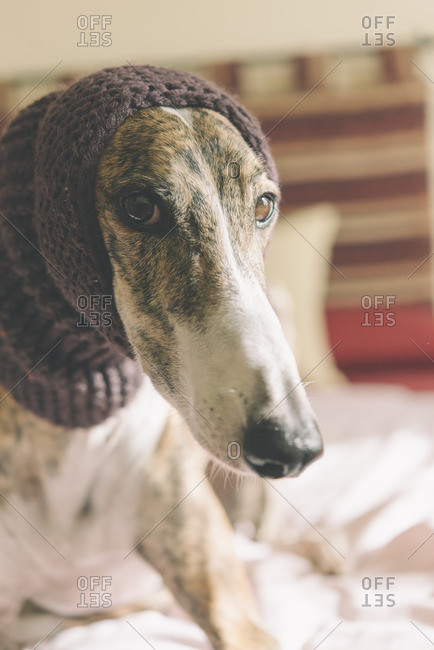 Portrait of Greyhound wearing wool cap