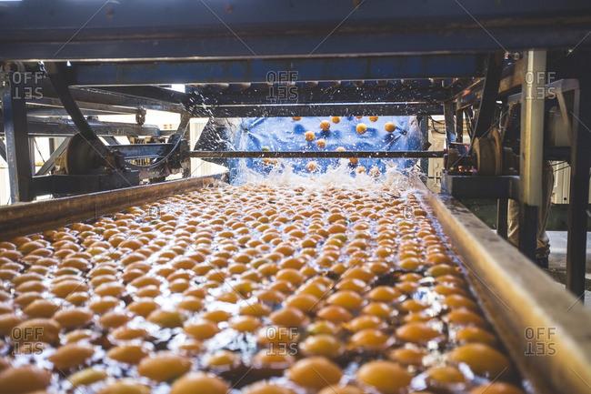 Oranges getting washed after harvest
