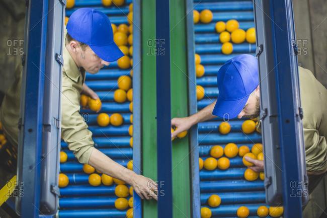 Workers on orange farm picking oranges from conveyor belt