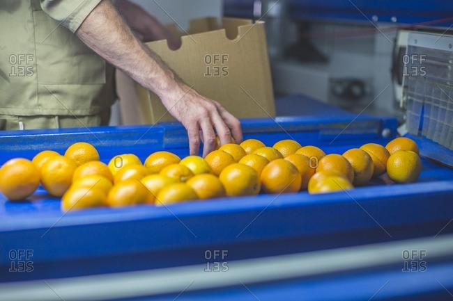 Worker on orange farm picking oranges from conveyor belt
