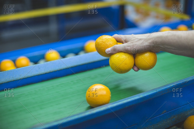 Worker on orange farm picking oranges from conveyor belt