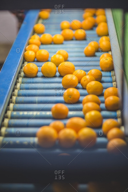 Oranges on conveyor belt