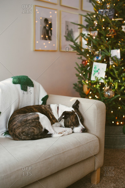 Dog lying on couch by Christmas tree