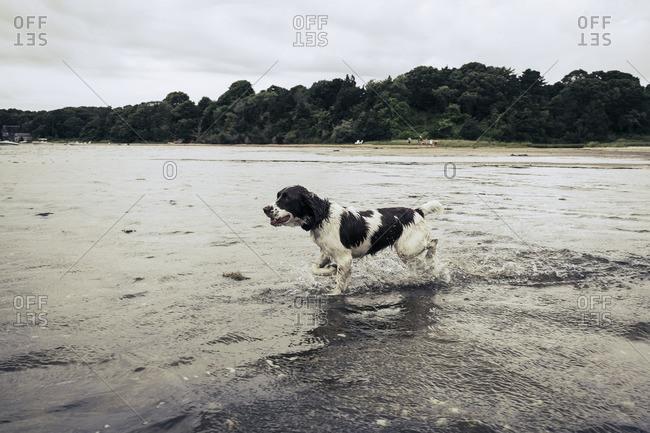 Dog splashing in ocean waves