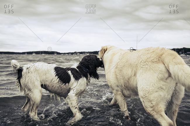 Dogs splashing in ocean waves