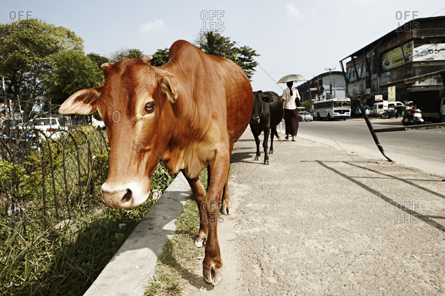 Cows on the street in Colombo, Sri Lanka