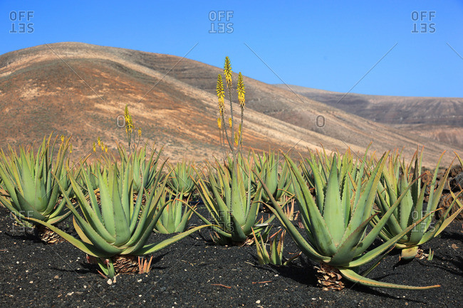 Aloe vera plants in Orzola, Haria, Lanzarote, Canary islands, Spain