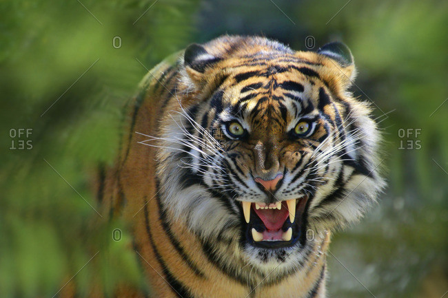 Sumatra tiger, Panthera Tigris Sumatra, making threatening gesture
