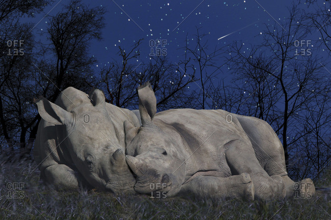 Rhinoceroses, Ceratotherium simum, lying together under a starry sky