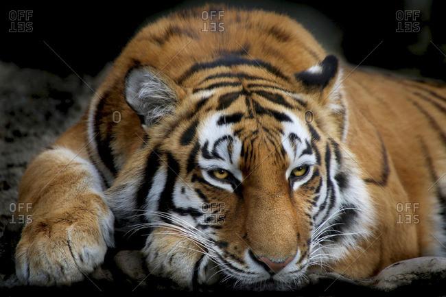 Siberian tiger, Amur tiger, Panthera Tigris altaica, lying down