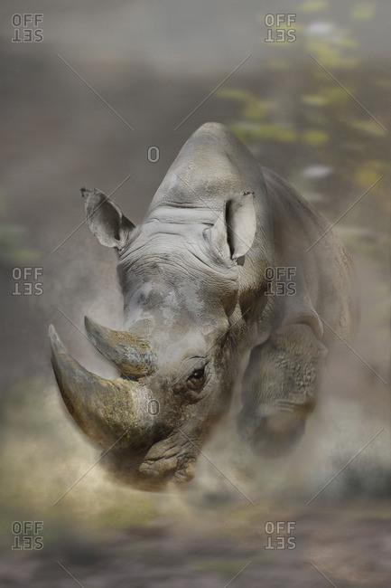White rhino, Ceratotherium simum, with aggressive look