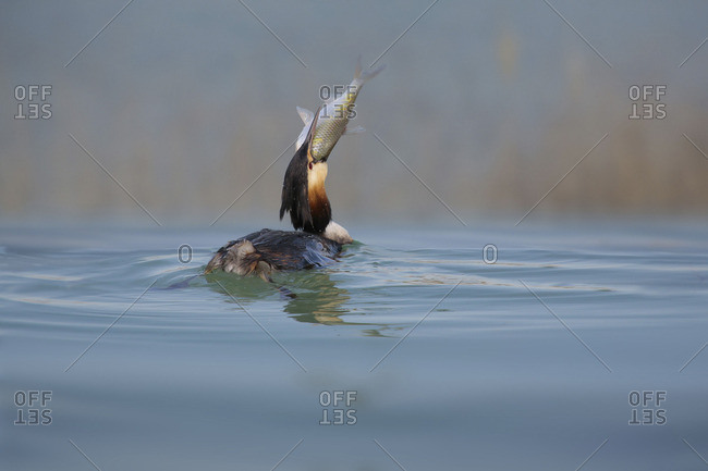 Great crested grebe, Podiceps cristatus, with fish in it's beak