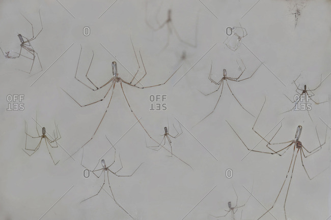 Colony of cellar spiders, Pholcidae