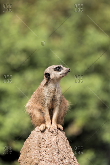 Meerkat looking around while sitting on a rock
