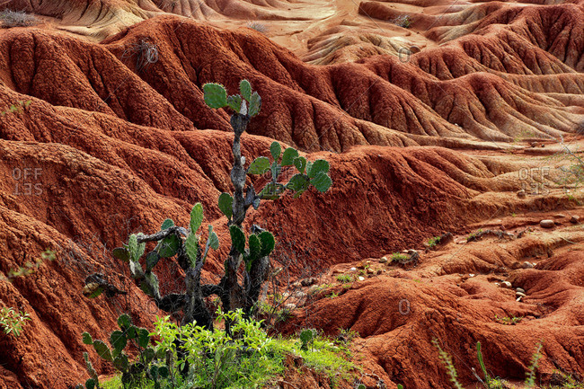 Cactus in the Tatacoa desert, Colombia