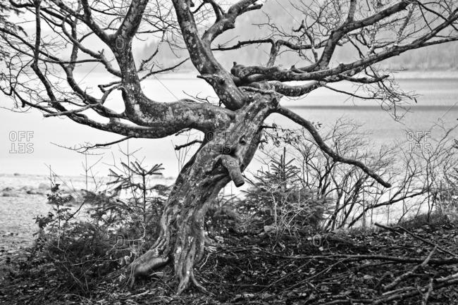 Gnarled tree by a lake