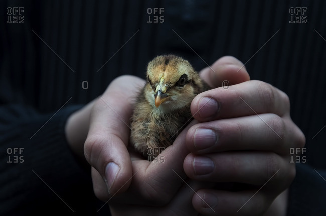 Hands holding baby chick