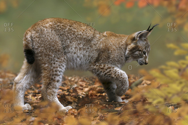 Young Lynx, Lynx , walking in a forest