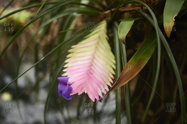 Close up of a Bromelia, bromeliadceae, blossom