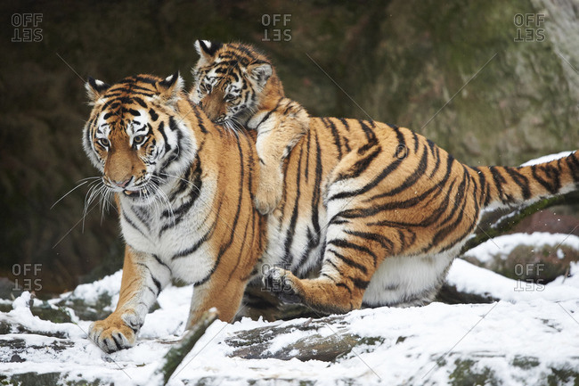 Young Siberian tiger playing with it's mother