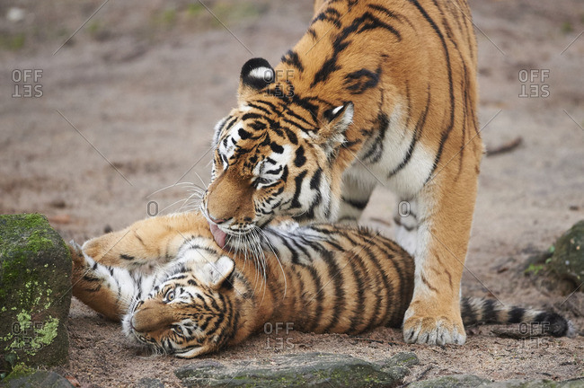 Mother Siberian tiger cleaning her young