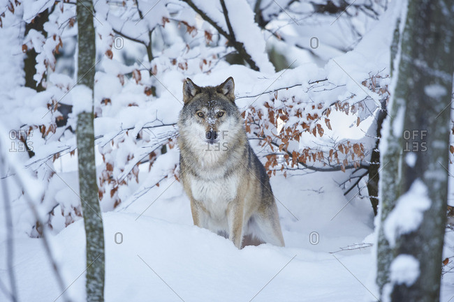 Wolf, Canis lupus, in a snowy forest