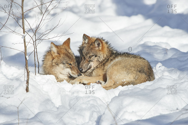 Two wolves, Canis lupus, cuddling in a snowy forest