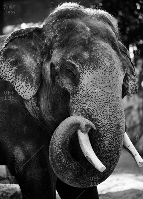 Elephant in Chiang May