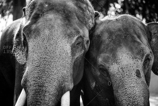 Two elephants in Chiang May