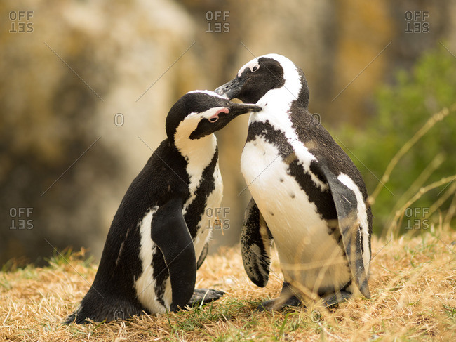 Two penguins, Capetown, South african
