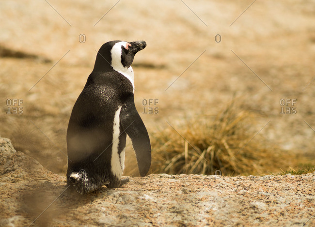 Penguin in Capetown, South Africa