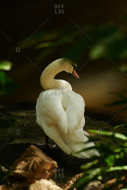 Rear view of a swan